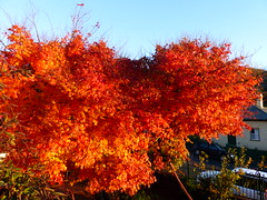 Well done, tree. Well done. (Snuva) Tags: autumn tree japanesemaple