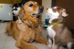 ¡¿Y ahora que me van a hacer!? (Alyaz7) Tags: pets cute dogs goldenretriever fun puppies tiny perros cachorros mascotas vr pequeños divertido ternura rawquality huskysyberian nikond7200 flashyongnuoyn560ii lentenikonnikkorafs1855mm13556giidxvr