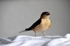 Eine Schwalbe (lappegabi) Tags: brown black bed bett tele nah soom schwalbe seldom selten swollow grosaufnahme
