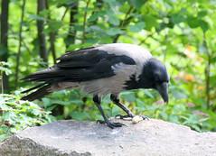 2-IMG_2218 (hemingwayfoto) Tags: berlin fressend grau krhe lebewesen natur ornithologie rabe rabenvogel schwarz singvogel tier vogel wild zoo zoogast