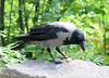 2-IMG_2218 (hemingwayfoto) Tags: berlin fressend grau krähe lebewesen natur ornithologie rabe rabenvogel schwarz singvogel tier vogel wild zoo zoogast