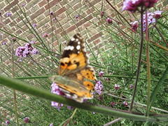 Beautiful butterfly IMG_9105 (tomylees) Tags: june butterfly 16th thursday essex paintedlady braintree 2016