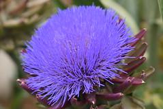 Artichoke flower. Fleur d'artichaut. (Traveling with Simone) Tags: blue plant flower fleur large bleu stunning bloom artichoke artichaut