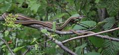 Ribbon Snake at Kittatinny (lifer) (Tombo Pixels) Tags: newjersey snake nj ribbon lifer ribbonsnake twb1 kittatinnyvalleystatepark kvsp naturewalk2016 kittatinny160202