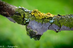 Baum-Flechte / Tree Lichen (R.O. - Fotografie) Tags: macro tree green nature up yellow closeup lumix close bokeh natur bad gelb nrw lichen grn makro baum fz 1000 dmc pansonic driburg baumflechte fz1000 dmcfz1000