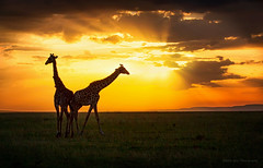 Time to go home (Wei, Willa) Tags: do kenya to masaimara willawei