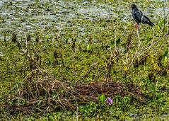 Gavio-caramujeiro na espreita (felipe sahd) Tags: brasil aves cear nordeste aude gavio rostrhamussociabilis gaviocaramujeiro sertodecrates