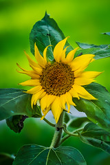 sunflower and bokeh (yaz62) Tags: bokeh depthoffield sunflower flowersplants june2016