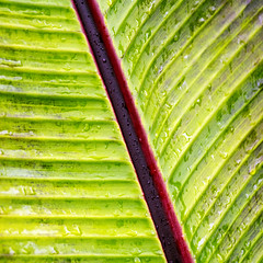 Day 6 30 Logan Botanic Garden leaf veins (bob watt) Tags: uk plants flower june canon scotland 7d 2016 18135mm loganbotanicgarden canoneos7d kirkcudbrightholidayjune2016