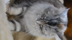 Miezi Grace Silvana Maine Coon Cat   Nikon Video (eagle1effi) Tags: video lowlight nikon indoor vids 50mmlens d5100 nikond5100dslr nikon50mmf1850mm