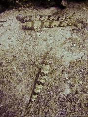 Sand Diver fish (3scapePhotos) Tags: travel sea vacation fish vertical island islands sand underwater scuba diving virgin tropical british caribbean diver wreck tropics bvi britishvirginislands rhone saltisland