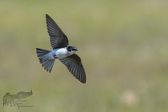 Tree Swallow in flight 6_20 1 (krisinct- Thanks for 12 Million views!) Tags: nikon d 300 f4 afs d500