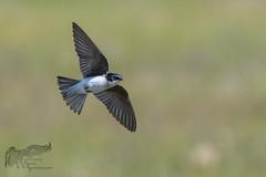 Tree Swallow in flight 6_20 1 (krisinct- Thanks for 12 Million views!) Tags: nikon d 300 f4 afs d500
