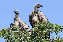 Vultures in waiting (J-C-M) Tags: botswana africa okavango delta wildlife birds vulture whitebacked cape griffon