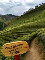 Green tea plantation in Boseong, South Korea. (DTVV) Tags: tree green tea plantation southkorea boseong