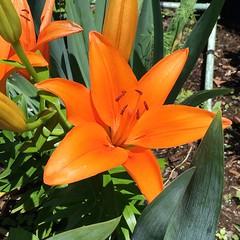 Orange Lily ! (pmarella) Tags: flower jerseycity pmarella orangelily riverviewpkproductions