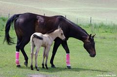Awwwww... (walkerross42) Tags: horse baby washington pasture fields colt palouse foal