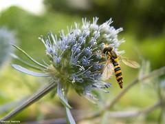 image049 (DanielDeptula) Tags: flower wasp bokeh osa makro wiosna spring kwiat konica minolta dimage z3 deptula zblienie close up