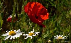 Mohn und Margeriten (diwe39) Tags: wiese mohn margeriten sommer2016