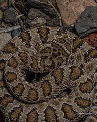Great Basin rattlesnake (sethro66) Tags: wildlife nevada greatbasin greatbasinrattlesnake fieldherping nevadawildlife crotaluslutosus herpingnevada
