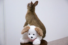 Ichigo san 228 ICHIGO san  (mensore) Tags: pet brown cute rabbit bunny dwarf netherland ichigo   netherlanddwarf