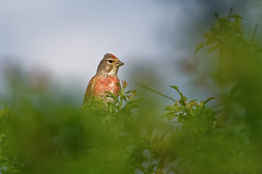 Linotte mlodieuse - Carduelis cannabina - Common Linnet (Alain-46) Tags: linottemlodieuse cardueliscannabina commonlinnet passriformes fringillids coth coth5