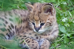 Serval 2016-07-01-0075 (bzd1) Tags: blauw