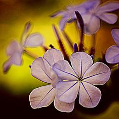 Blue flowers edit (judith511) Tags: flower plumbago hedgingshrub picmonkey