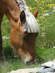 P1000246 (Franois Magne) Tags: cheval libert poulain jument blond blonde bai frange montagne etang lanoux estany de lanos lac pyrnes