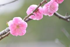 ume blossoms 8 (babykins.) Tags: flower ume plumblossom d600 456dg70300mm