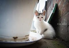 Mr Whiskers Junior, Belgium (monsieur I) Tags: world cute cat countryside farm whiskers domesticanimal monsieuri