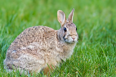 Rabbit (Peter Bangayan) Tags: rabbit animals canon backyard ef300mmf4lisusm kuneho canon7d