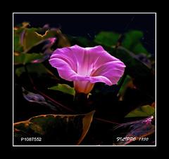 P1087552     FRAMED (Felipe 1930) Tags: italy unique 4u flowershop flickrland exclusivity justnature mmmilikeit spring4u macro4u blumenblumenblumen