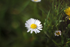 Daisy (Littlevegemite) Tags: uk england white flower green art yellow canon lens photography eos 50mm weed unitedkingdom united free kingdom daisy bishops stortford 50mm18 lensing canon50mm whacking bishopsstortford 60d canon60d freelensing lenswhacking
