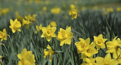 Daffodils (Narcissus) in Nowton Park (Martin Pettitt) Tags: park flowers nature suffolk spring nikon april daffodils narcissus burystedmunds nowton nikondslr nowtonpark d7100 afsdxvrzoomnikkor18200mmf3556gifedii