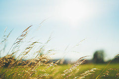 Summer Breeze {Explored} (jennydasdesign) Tags: summer sky green nature grass 50mm dof sweden bokeh grain windy sverige breeze explored sonydslra300 dt50mmf18sam