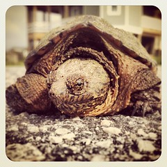 Found a turtle on the way to a surf check. #turtle (bryan elkus) Tags: square squareformat earlybird iphoneography instagramapp uploaded:by=instagram