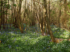 Woods in Spring (Lovelli) Tags: bluebells woods woodlands may adisham 2013 lovelli