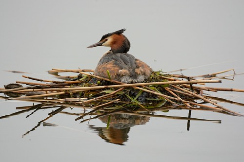 Great Crested Grebe.