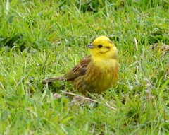 Yellowhammer (Jacky4me (in Lincolnshire on a trip)) Tags: uk bird nature wildlife lincolnshire british spa woodhall yellowhammer bucknall