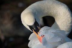 Mute swan preening (mattcawrey) Tags: uk nature birds spring nikon leicestershire wildlife loughborough muteswan 2013 d700