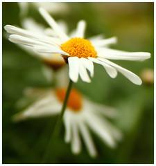 Daisy Bokeh (saniradi) Tags: flora tamron2875mm niceflower canon500d flowerdome gardensbythebay