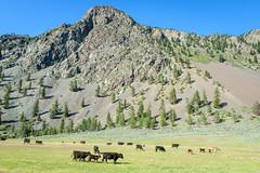 Similkameen ranchland (Richard McGuire) Tags: ranch canada bc cattle britishcolumbia similkameen keremeos cawston
