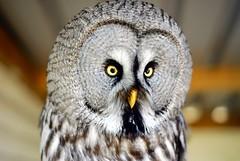 Such a precious Owl (murtphillips) Tags: soe topshots fantasticnature photosandcalendar natureselegantshots panoramafotogrfico faunayfloradelmundo uniqueaward theoriginalgoldseal mygearandme flickrsportal onlythebestofflickr