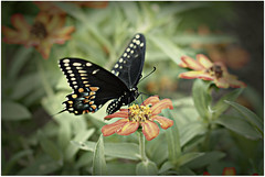 Black Swallowtail Release Favorites (Maddie2521) Tags: macro butterfly insect release metamorphosis blackswallowtail eos550d canonrebelt2i