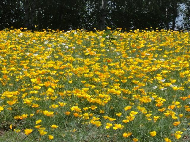 綺麗に咲き誇っているお花もありました。 展望花畑 四季彩の丘