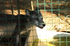 First time seeing an Arctic Fox. (JennyLeeNJ) Tags: vacation ny newyork adirondacks arcticfox adirondackswildliferefuge