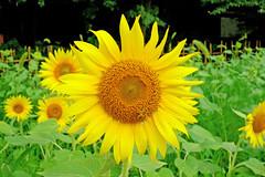 SONY Cyber-shot DSC-RX100 Test Shot (Sunflower) (Dakiny) Tags: summer plant flower nature japan insect landscape photo sony snapshot july cybershot snap bee photograph sunflower yokohama    honeybee watermill      carlzeiss satoyama       jige tstar 2013 rurallandscape  rx100   aobaku carlzeisslens       2013  dscrx100  sonycybershotdscrx100 jigecho jigefurusatovillage bariozona t