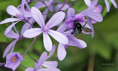 Mamangava (Randolfo Britto) Tags: bees natureza vespas abelhas marimbondos mamangava