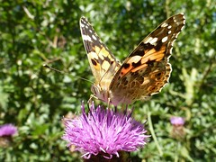 Painted Lady (little_auk) Tags: butterfly suffolk grove felixstowe paintedlady the